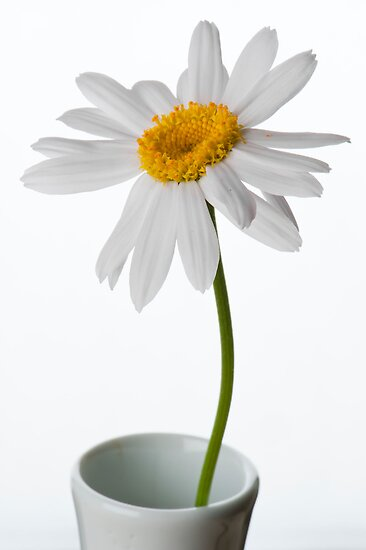 White Chrysanthemum 1 by Jacinthe Brault