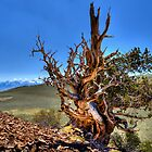 Ancient Bristlecone 2, California by Dianne Phelps