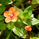 Scarlet Pimpernel - Anagallis arvensis L. by Digitalbcon