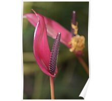 Purple Plum Anthurium Poster