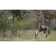 Buzzard in flight Photographic Print