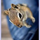 Chippy On My Lap by Betsy  Seeton