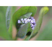 Emerging Virginia Bluebells Photographic Print