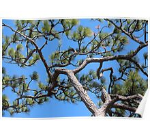 Florida Slash Pine Poster