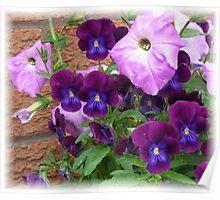 Pink and Purple Petunias and Violas Poster