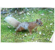 The Grey and Red Squirrel Poster