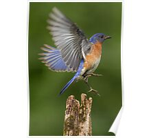Eastern Bluebird Take Off Poster