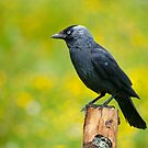 Jackdaw by Margaret S Sweeny