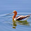 American Avocet In Breeding Plumage by John Absher