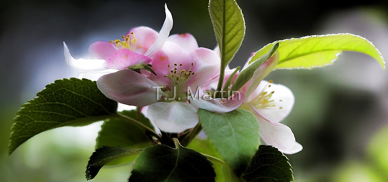 Apple Blossom Time by T.J. Martin