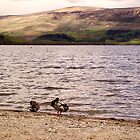 Loch Lomond Ducks by trish725
