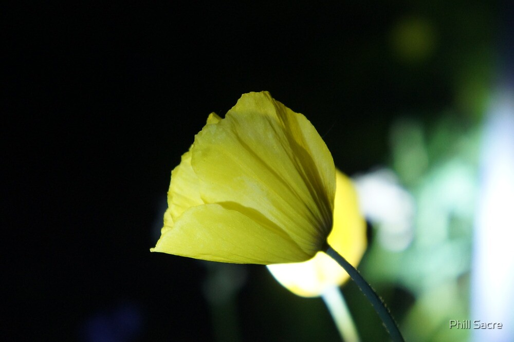 Flower in the Dark by Phill Sacre