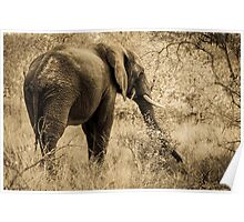 Elephant in the Kruger National Park01 Poster