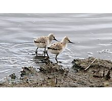 Avocet chicks  Photographic Print