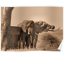 IN SEPIA- SENIOR COMPANY - THE AFRICAN ELEPHANT -Loxodonta africana Poster