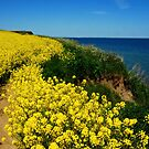 The rape field near the sea by jchanders