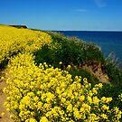 The rape field near the sea by jchanders