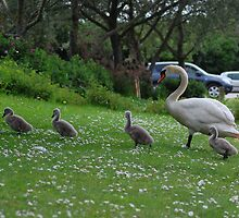 Mother Swan and Cygnets by Alex Carpenter - Beare