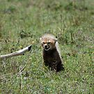 Chetah Cub Next To Dead Prey Caught By Mother by troffle24