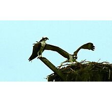Osprey Landing Photographic Print