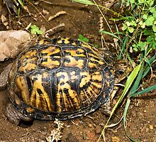 Eastern Box Turtle by Otto Danby II