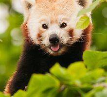 Red panda (Ailurus fulgens) by Steve  Liptrot