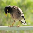 Hawaiian Myna Bird by Ellen Cotton