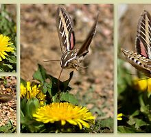 White-lined Sphinx Hummingbird Moth by Betsy  Seeton