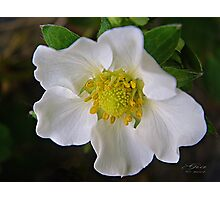 """Pear Blossom"" Photographic Print"