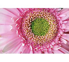 Pink Gerbera (macro) Photographic Print