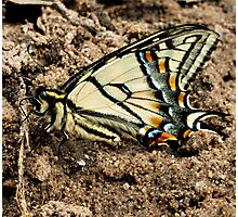 Canadian Tiger Swallowtail Photographic Print