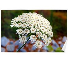 Queen Anne's Lace Poster