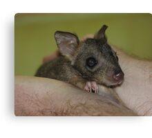 Baby brush tailed bettong aka Woylie in WA Captive Canvas Print