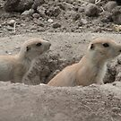 Baby Prairie Dogs by mercale