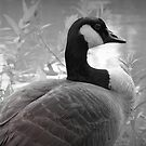 Canadian Goose by mercale