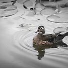 Duck Days  by mercale
