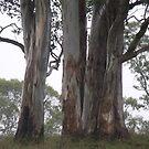 Australian Gums by Judy Woodman