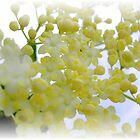 Elderflowers by andreajansen