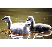 Singing in the rain baby swans Photographic Print