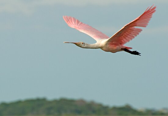 Spoonbill flys off into the sunset by imagetj