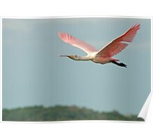 Spoonbill flys off into the sunset Poster