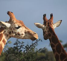 Giraffes at Werribee Open Range Zoo - Australia by TSHawkes