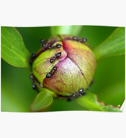 Ants on Peony Blossom Poster