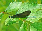Ebony Jewelwing Damselfly - Calopteryx maculata by MotherNature