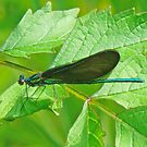 Ebony Jewelwing Damselfly - Calopteryx maculata by MotherNature