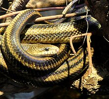 Yellow Rats Snakes In Live Oak  by Kathy Baccari