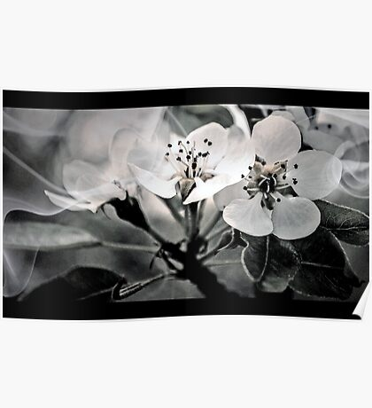 Fruit Tree Blossoms  Poster
