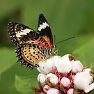 Malay Lacewing tropical butterfly by Grant Glendinning