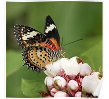 Malay Lacewing tropical butterfly Poster
