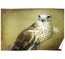 The Saker Falcon Stare Poster